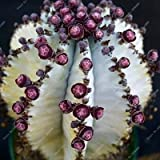 100pcs/bag True Cactus Seeds,Mini Cactus,Prickly Pear,Bonsai Flower Seeds,Potted Plant for Home Garden 16