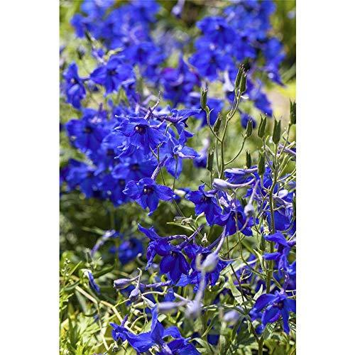 OBI Blaue Rispenblüten