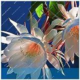 IDEA HIGH Seeds-ZLKING 10er Epiphyllum Nachtblühende Cereus-Blütenpflanzen mit über 95% Knospungsrate