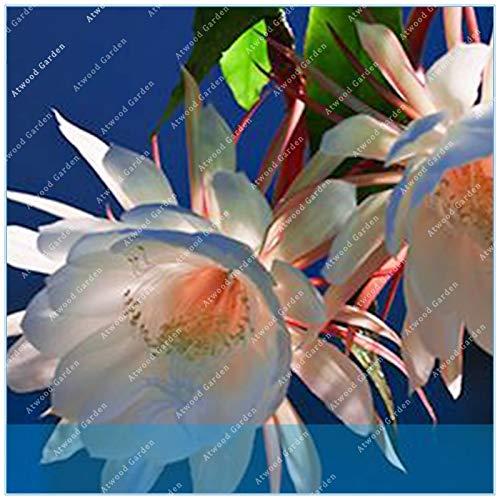 IDEA HIGH Seeds-ZLKING 10er Epiphyllum Nachtblühende Cereus-Blütenpflanzen mit über 95{ce12337347e2ec4755018301745e779a4a42a0c03607d8d58a06fa2137ea2eab} Knospungsrate