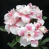 Rosa claro única doble Flores Red Stripe plantas de balcón en maceta Rosa flores del desierto Semillas Adenium obesum Semilla