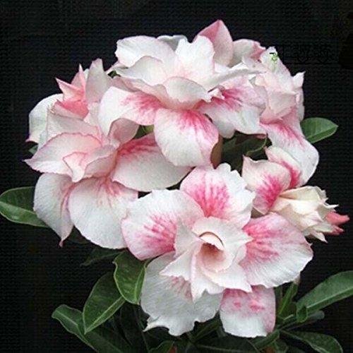 Double Rose Lumière Unique Fleurs Plantes Red Stripe Balcon Desert rose Fleurs en pot Graines Adenium obesum Graines 1PCS
