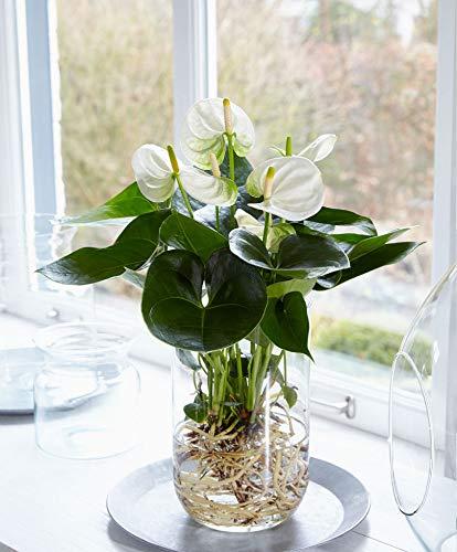 Anthurie Anthurie Weiß