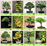 Pinkdose Bonsai Samen: Outdoor Plants Samen Combo Pomagranate Nana, Cryptomaria Japonica, Himalaya-Zypresse, Thuja orientalis
