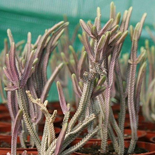 crassula-rhapsody-in-pink-plant-in-a-105cm-pot-jade-plant-money-tree