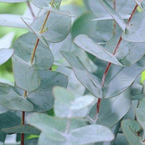 eucalyptus plant amazoncouk