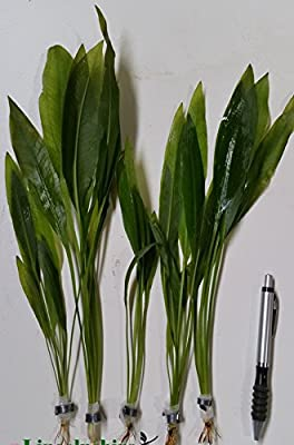 Amazon Sword Plants Echinodorus bleheri Live Aquarium Plants Aquatic Plants For Your Fish Tank