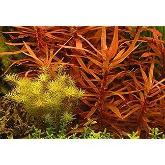 Ammannia Praetermissa - Live Aquarium Plants … 14