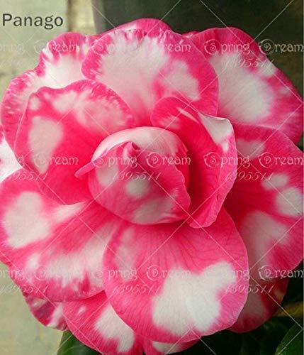 Pinkdose 2pcs Fiore rosa del deserto vero Adenium obesum bonsai fiore pianta piante grasse perenni piante in vaso al coperto per il giardino di casa: 9