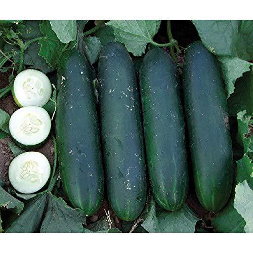 Go Garden 10 - Graines: Croustillant Verte F1 Concombre Hybride - American Slicer - Rendements énormes! Livraison Gratuite!