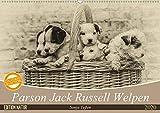 Parson Jack Russel Welpen (Wandkalender 2020 DIN A2 quer): Ein lustiger Haufen Parson Jack Russell Welpen begleitet Sie durchs Jahr. (Monatskalender, 14 Seiten ) (CALVENDO Tiere) -