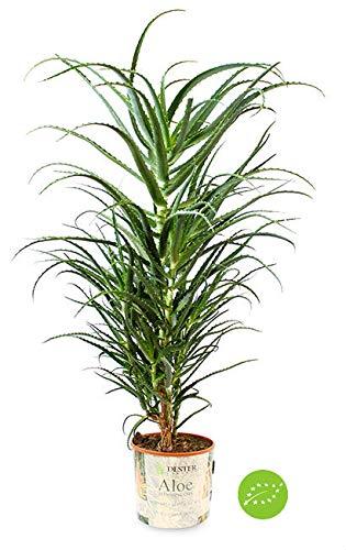Aloe arborescens Certificata Bio 5 anni per ricetta Padre Zago