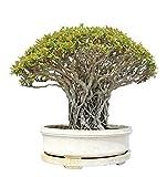 Buddha Baum 20 Samen - Pappel Feige, Ficus Religiosa - Bonsai für Buddha Baum 20 Samen - Pappel Feige, Ficus Religiosa - Bonsai