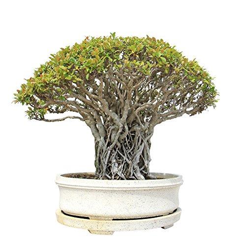 feige violetta Buddha Baum 20 Samen - Pappel Feige, Ficus Religiosa - Bonsai