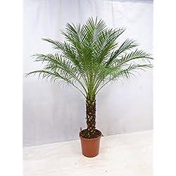 [Palmenlager] - Phoenix roebelenii - Zwerg-Dattelpalme 180 cm - Stamm 50 cm/Zimmerpalme