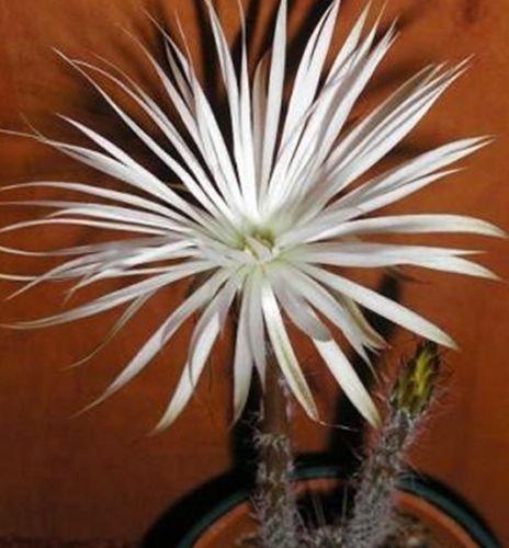 Setiechnopsis mirabilis - Cactus - 10 graines