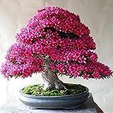 100 pc / pacchetto rari Bonsai 13 varietà di Azalea Semi fai da te Casa & Giardino Piante assomiglia Semi Sakura ciliegio giapponese fiore sboccia