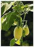 TROPICA - Eierbaum (Solanum melonga) - 20 Samen