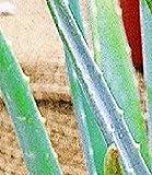 BALDUR-Garten Echte Aloe Vera Pflanze
