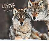 Wölfe 2019: Großer Wandkalender. Foto-Kunstkalender über den Wolf. Querformat 55 x 45,5 cm. Hochwertiges Foliendeckblatt.