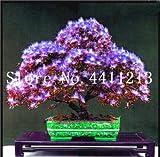 prime vista 20 stücke Goldene Mimose pflanzen Seltene Schöne Akazie Gelb Wattle Tree Pflanzen Hausgarten Blumen pflanzen Edlen Bonsai Geschenk bonsai: 2