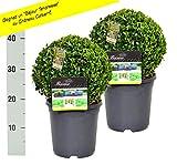 2 Buchsbaum Kugel 20cm + gratis Dünger. Zertifiziert mit dem TOPBUXUS ECO-PLANT-Label. Gezüchtet ohne Gift.