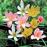#3: Urban Gardens Rare Mixed Rain Lily Bulbs, Zephyranthus- 5 Pieces