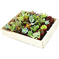 Mini-Sukkulenten 3,5cm Topf - Holzkiste mit 30 Pflanzen
