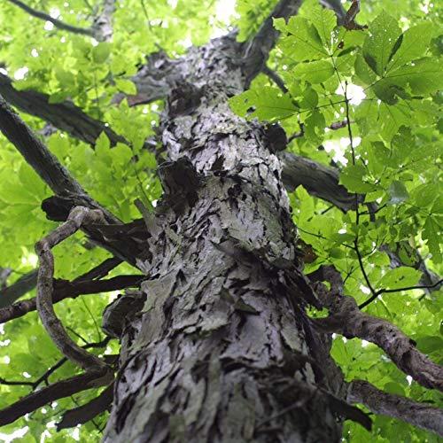 Portal Cool 3 + Seeds: Shagbark Hickory-Baum-Samen (Carya Ovata)