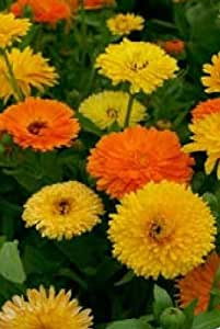 Fiore - Calendula officinalis - Pacific Beauty Mix - Calendula - 1000 Semi