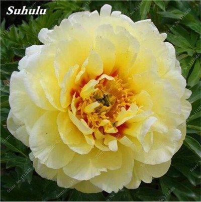 True Color mélange Graines Pivoine jardin Fleurs vivaces Fleurs en pot Graines de plantes ornementales de jardin Bonsai-10 Pcs 13