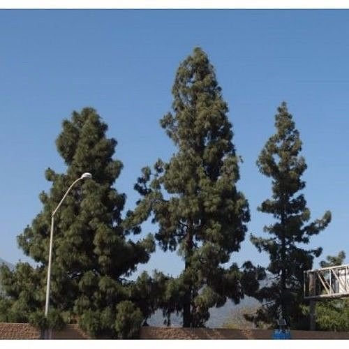 PLAT FIRM GERMINATIONSAMEN: 50 kanarische Kiefer Samen, Pinus canariensis
