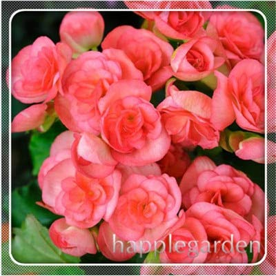 pinkdose 20 pz begonia pianta bonsai fiore pianta fai da te decorazione del giardino begonie bonsai in vaso facile da coltivare albero dwarf houseplants: 15