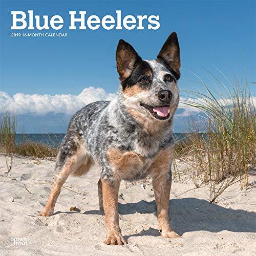 Blue Heelers - Australische Treibhunde 2019 - 18-Monatskalender mit freier DogDays-App: Original BrownTrout-Kalender [Mehrsprachig] [Kalender] por Inc. Browntrout Publishers