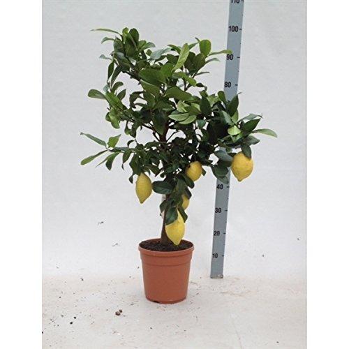 Blumen Senf Citrus limon - Echter Zitronenbaum - 70-90 cm mit 2-5 Früchten