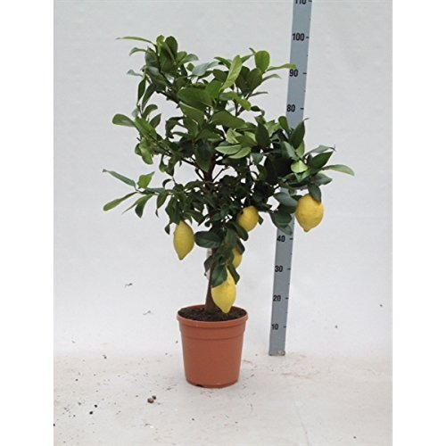 CITRUS Limon (Zitrone) 90 cm