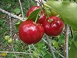 Malphigia Glabra - Acerola Barbados Kirsche - Seltene exotischen tropischen Baum Samen (5)
