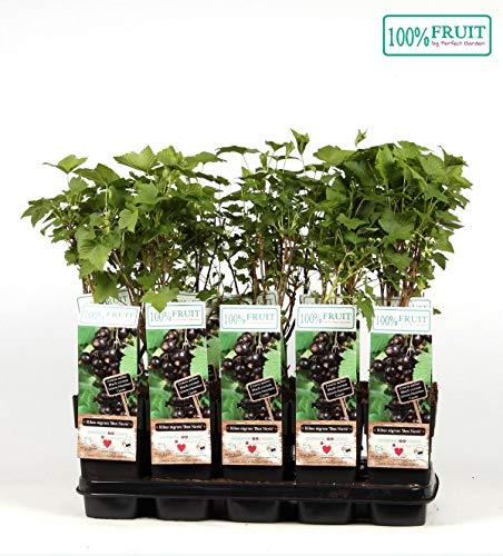 Schwarze Johannisbeere - Ribes nigrum - Ben Nevis 60-70 cm - großfrüchtig, robust