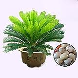 Rosepoem Cycas Sago Palm Gardening Bonsai Planting Home Garden Decoration Naranja 1pcs