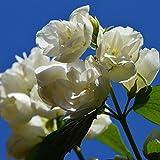 Grüner Garten Shop Pfeifenstrauch Duftjasmin Snowbelle weiße gefüllte, leicht duftende Blüte, ca. 30-40 cm 3 Liter Topf