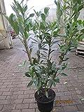 Prunus laurocerasus caucasica - Kaukasische Lorbeerkirsche