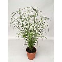 Zyperngras Cyperus Wasserpalme 60cm+/-