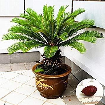 cicadi albero 100% vero seme in vaso cycas revoluta domestica dei semi della pianta di giardino paesaggio popolare seed facile da coltivare 1 pc/sacchetto