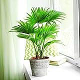 Palma da palmo cinese, Palma da fontana - semi