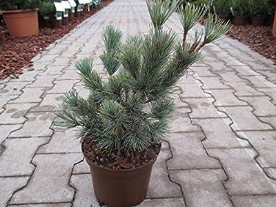 Baumschule Anding Blaue Kriechkiefer - Pinus pumila - Glauca von Baumschule Anding auf Du und dein Garten