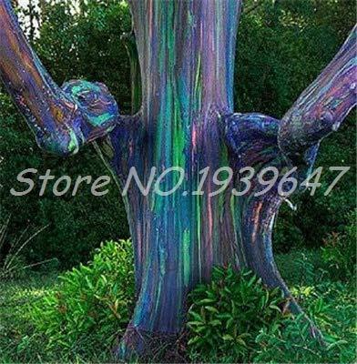 Ventes! 200 pcs/sac Rare arc en ciel, arbre tropical Showy, vivace Bonsai Potted Maison et Jardin (2 ing mixtes GRAINES SEULEMENT)