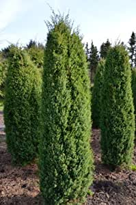 irish columns juniper juniperus communis hibernica 40 60. Black Bedroom Furniture Sets. Home Design Ideas