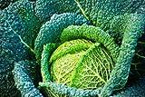 Seekay Saboya Col Vertus Aprox 125 Semillas - 250 seeds