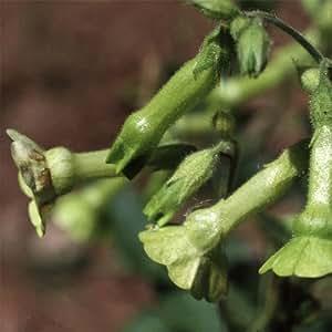 Plant World Seeds - Nicotiana Langsdorfii Seeds