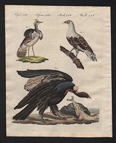 Condor Vogel (Geier Kondor Condor Vögel birds Bertuch Kupferstich engraving)